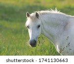 A Headshot Of A Grey Welsh Pony ...