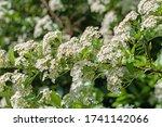 Flowering Firethorn  Pyracantha ...