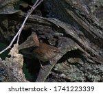 Jenny Wren Eurasian Wren...