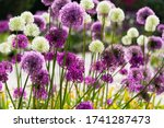Allium Or Giant Onion Is A...