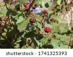 Unripened Blackberries In...