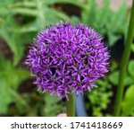 close up of giant onion flower  ...