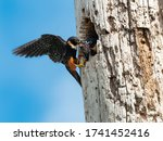 A Parent Bat Falcon Feeding It...