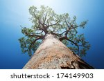 Baobab Tree With Green Leaves...