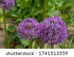 Purple Allium Giganteum Flower...