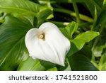 Beautiful White Arum Lily Flower