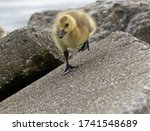Baby Geese Are Exploring The...