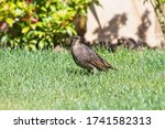 A Young Starling  Sturnus...