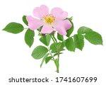 The Flower Of Wild Rose...
