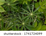 Lupine Leaves  Dew  Water Afte...