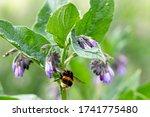 White Tailed Bumblebee  Bombus...