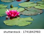 Pink Lotuses In Clear Water....