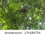 Small photo of Red Howler Monkey (Alouatta seniculus)