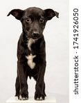 Small photo of cute black puppy isolated on white. baby mutt dog looking sad