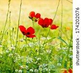 blossoming poppy flowers meadow ... | Shutterstock . vector #174202076