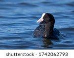 Swimming Bird In The Blue Lake  ...
