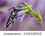 Andrenidae Apoidea cf sleeping on a purple flower