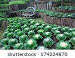 Decorative Cabbage Garden Color.