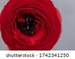Closeup Of Red Ranunculus For...