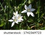 White Star Of Bethlehem Flowers ...