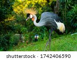 Crowned Crane Walks In A Green...