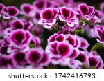 Geranium Purple Flowers Close...