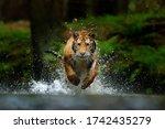 Wildife Siberia. Amur tiger running in the water, Siberia. Dangerous animal, tajga, Russia. Animal in green forest stream. Siberian tiger splashing water.