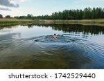 A Man Swims In A Deserted...