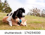 Stock photo togetherness two puppies one a spaniel the other a bison frishe cross lie happily entwined on 174254030