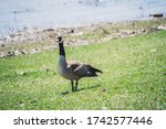 Canadian Father Mother Geese...