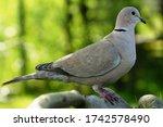 Turtledove  Collared Dove  ...