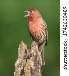 A House Finch Perched On A Tree