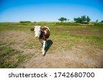 Cows In A Farm. Dairy Cows....