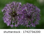 Two Blooming Balls Of Allium...