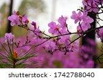 Flowering Branch Of The Dauria...