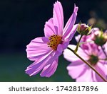 Cosmos Pink Flowers Are Like...