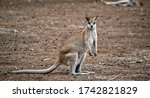 The Agile Wallaby Is A Tall...