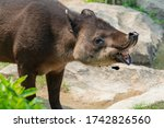 A Central American Tapir At A...