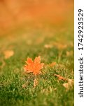 Orange Maple Leaf In Grass ...