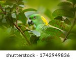 Parrot In Tree. Yellow Naped...