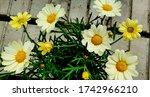 African Daisy Osteospermum Wit...