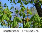 Chestnut Tree Leaves And Buds ...