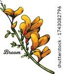 Broom Flower  Dyers Greenwood ...