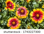 Common Gaillardia Or...