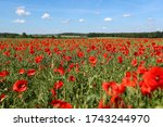 View Of Poppy Filed In Summer...