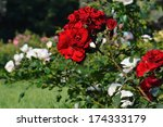 Stock photo flowering red roses in the garden 174333179