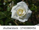 A Beautiful English  Floribund...