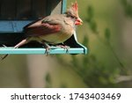 Feisty Young Female Cardinal ...