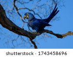 Hyacinth Macaw Close Up Over A...