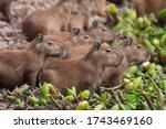 Herd Of Capybara On The River ...